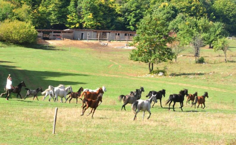 Velenići: Rajsko mjesto za arapske boričke konje